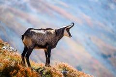 Capre selvatiche nelle montagne Fotografie Stock