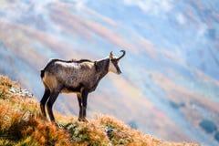 Capre selvatiche nelle montagne Fotografie Stock Libere da Diritti