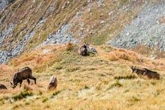 Capre selvatiche nelle montagne Fotografia Stock