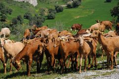 Capre spagnole, Andalusia. Fotografia Stock