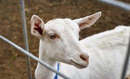Capre su un'azienda agricola in NY 3 Fotografie Stock Libere da Diritti