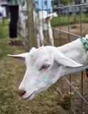Capre su un'azienda agricola in NY 5 Fotografia Stock Libera da Diritti