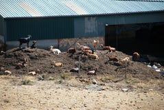 Capre su un'azienda agricola spagnola, Almogia Fotografie Stock