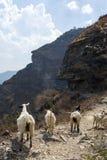 Capre sul percorso della montagna Fotografie Stock