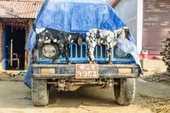 Capre sull'automobile Villaggio nepalese Fotografia Stock Libera da Diritti