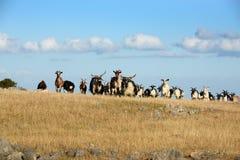 Capre sull'azienda agricola Fotografia Stock