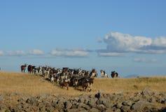 Capre sull'azienda agricola Fotografia Stock Libera da Diritti