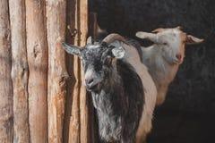 Capre sull'azienda agricola Immagine Stock Libera da Diritti