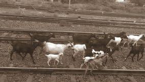 Capre sulla ferrovia Fotografia Stock Libera da Diritti