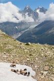 Capre sulla neve a Chamonix-Mont-Blanc Fotografie Stock Libere da Diritti