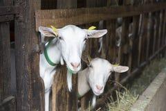 Capre in una stalla dell'animale immagini stock