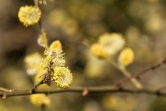 Caprea de Salix - plan rapproché des fleurs jaunes sur des branches d'un saule photographie stock