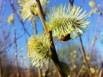 Caprea del Salix y una abeja joven Fotografía de archivo
