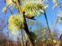 Caprea del Salix y una abeja joven Imágenes de archivo libres de regalías