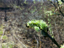 Caprea del Salix y una abeja joven Imagenes de archivo