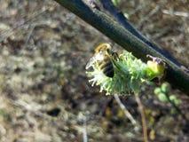 Caprea del Salix y una abeja joven Imagen de archivo libre de regalías