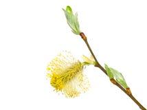 Caprea do Salix Fotos de Stock