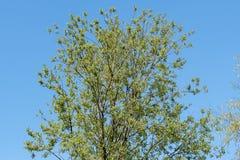 Caprea Salix, верба козы или большой желтоватый, лиственный кустарник стоковые фото