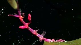 Caprellidae subaquático no fundo do mar do mar branco video estoque
