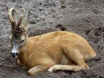 Capreólus capreólus (European ROE deer) in the zoo of Kaliningrad Stock Image