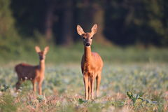 Capreolus Capreolus, Roe Deer Lizenzfreies Stockbild