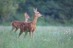 Capreolus Capreolus, Roe Deer Lizenzfreie Stockbilder