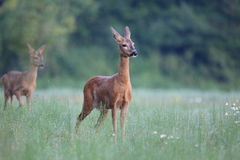 Capreolus Capreolus, Roe Deer Lizenzfreie Stockfotos