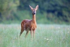 Capreolus Capreolus, Roe Deer Stockfotos