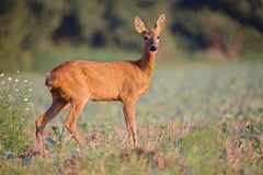 Capreolus capreolus, Roe Deer. Capreolus capreolus, female Roe Deer walking on the agricultural field Royalty Free Stock Photos