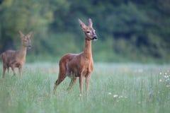 Capreolus capreolus, Roe Deer. Royalty Free Stock Photos