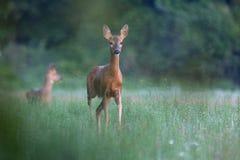 Capreolus capreolus, Roe Deer. Royalty Free Stock Image