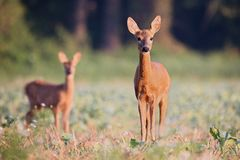 Capreolus capreolus, Roe Deer. Stock Image