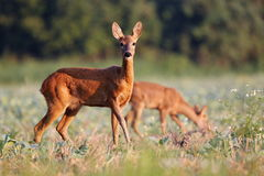 Capreolus capreolus, Roe Deer. Capreolus capreolus, Roe Deer walking on the agricultural field. Background grazing Roe Deer Royalty Free Stock Photos