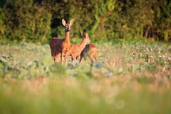 Capreolus capreolus, Roe Deers are standing on the summer meadow Royalty Free Stock Photo
