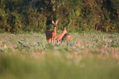 Capreolus capreolus, Roe Deers are standing on the summer meadow Royalty Free Stock Photography