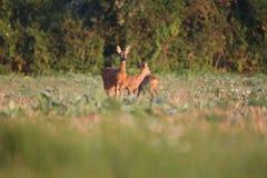 Capreolus Capreolus, Roe Deers stehen auf der Sommerwiese Lizenzfreie Stockfotografie