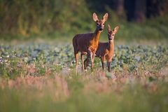 Capreolus Capreolus, Roe Deers Walking On The Agricultural Field. Stock Photo