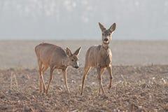 Capreolus capreolus, two Roe Deer walking. Wildlife scenery. Two wild deer migrating royalty free stock photo