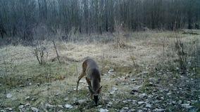 Capreolus capreolus, Chevreuil, Roe deer, in forest in winter sunrise in Full HD
