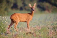Capreolus de Capreolus, Roe Deer photos libres de droits