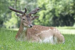 Capreolus de Roe Deer Capreolus do europeu foto de stock royalty free