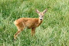 Capreolus de Capreolus, Roe Deer féminin Images stock