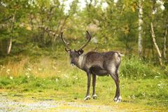 Capreolus del Capreolus, Roe Deer femenino que camina en el campo agrícola fotografía de archivo libre de regalías