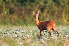 Capreolus del Capreolus, Roe Deers que camina en el campo agrícola Fotografía de archivo libre de regalías