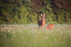 Capreolus del Capreolus, Roe Deers que camina en el campo agrícola Imagen de archivo
