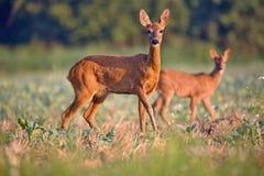 Capreolus del Capreolus, Roe Deers que camina en el campo agrícola Foto de archivo libre de regalías
