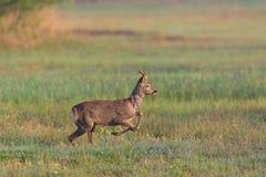 Capreolus novo running do cabrito montês que salta no prado verde Imagens de Stock
