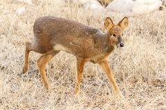Capreolus pygargus. Herbivores. Live in the Northeast China, the northwest, North China and Inner Mongolia and other places in the small hillside sparse woods Royalty Free Stock Image