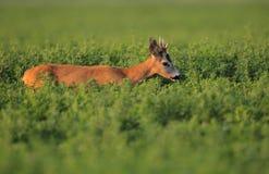 capreolus roe jeleni europejscy Zdjęcia Royalty Free