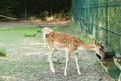 Capreoluscapreolus - het jonge herten drinkwater, herten wordt opgeheven in gevangenschap royalty-vrije stock foto